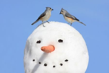 snowman: Pair of Tufted Titmice (baeolophus bicolor) on a snowman