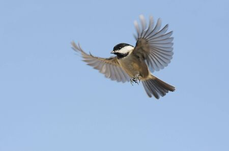 capped: Black-capped Chickadee (poecile atricapilla) in flight