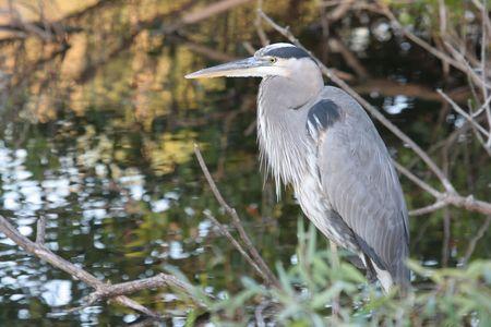 Great Blue Heron (Ardea Herodias) in the Florida Everglades Stock Photo - 2806053