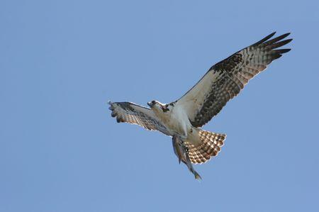 osprey: Osprey (pandion haliaetus) In Flight With A Fish