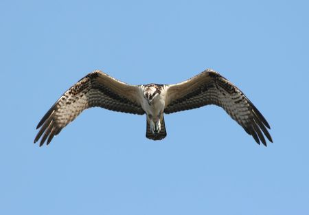 osprey: Osprey (pandion haliaetus) In Flight