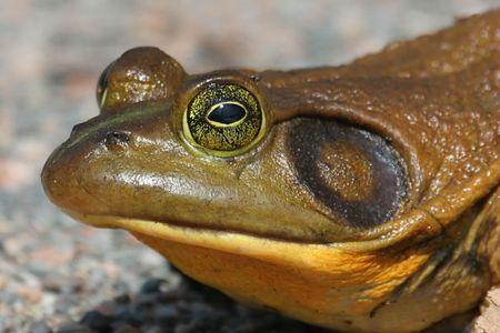 Bull Frog (Rana catesbeiana) in early spring Stock Photo - 2806057