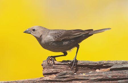 brood: Brown-headed Cowbird (Molothrus ater) � notorious brood parasite