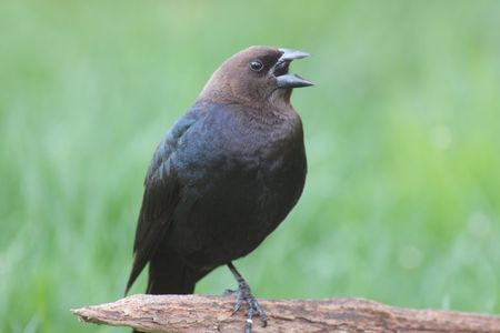 brood: Male Brown-headed Cowbird (Molothrus ater) � notorious brood parasite Stock Photo