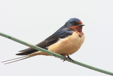 Barn Swallow (Hirundo rustica) perched on a wire Banco de Imagens