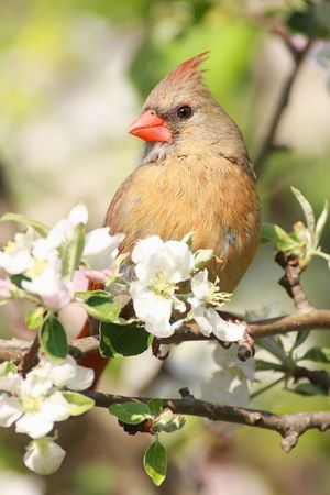 female cardinal: Female Northern Cardinal (cardinalis cardinalis) in an Apple Tree with blossoms