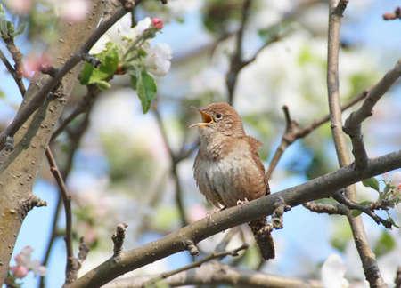 troglodytes: House Wren (troglodytes aedon) singing in an apple tree