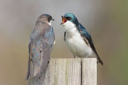 golondrinas: Par de Tree Swallows (tachycineta bicolor) en casa de un p�jaro  Foto de archivo