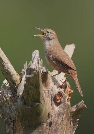 troglodytes: House Wren (troglodytes aedon) singing on a stump Stock Photo