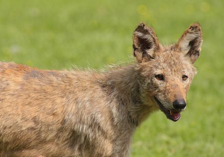 rare animal: Eastern Coyote (Canis latrans) � A rare animal in the Mid-Atlantic states Stock Photo