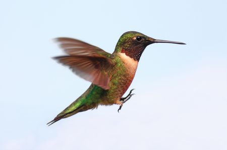 Ruby-throated Hummingbird (archilochus colubris) with a light background