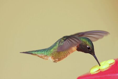 feeder: Hungry Ruby-throated Hummingbird (archilochus colubris) at a feeder