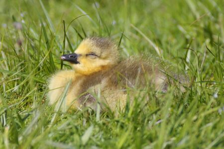 Cute  Canada Goose (Branta canadensis) sleeping in the sun photo