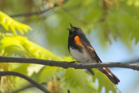 avian: American Redstart (Setophaga ruticilla) singing in early spring