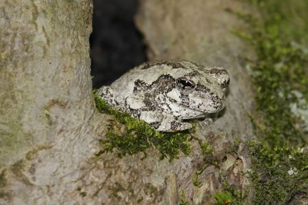 versicolor: Gray Tree Frog (Hyla versicolor) sleeping in a tree Stock Photo