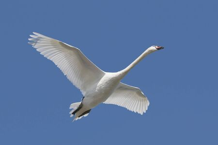 Mute Swan (Cygnus olor) in flight photo