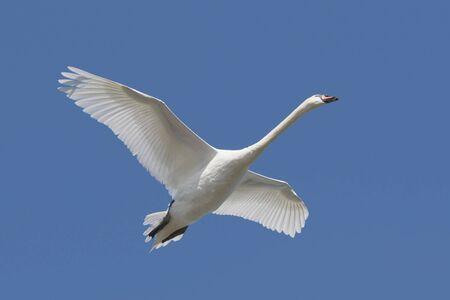 Mute Swan (Cygnus olor) in flight