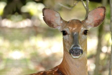 odocoileus: White-tailed deer (Odocoileus virginianus) in the forest
