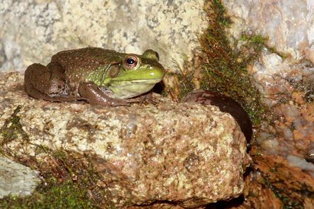 Green Frog (Ranam clamitans) on a rock in spring Stock Photo - 3056031