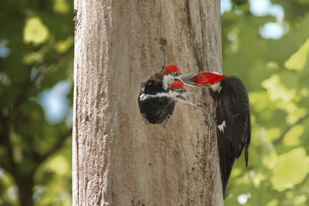woodpecker: Mother Pileated Woodpecker (Dryocopus pileatus) feeding her hungry