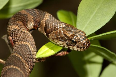 coldblooded: Northern Water Snake (nerodia sipedon) climbing in a tree