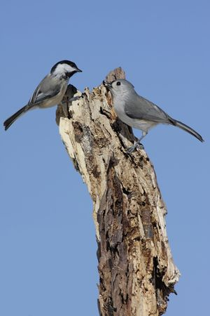 tufted: Tufted Titmouse (baeolophus bicolor) and Black-capped Chickadee (poecile atricapilla) on a stump