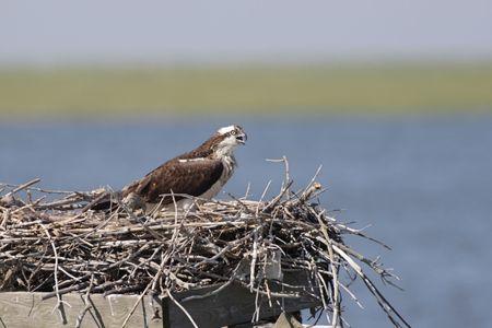 osprey: Osprey (pandion haliaetus) On A Nest Stock Photo