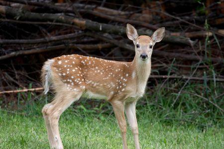 virginianus:  White-tailed Deer (Odocoileus virginianus)