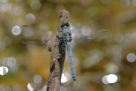 erythemis: Eastern Pondhawk Dragonfly (Erythemis simplicicollis) perched on a stick