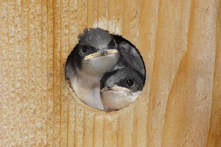Pair of  Tree Swallows (tachycineta bicolor) in a birdhouse Banco de Imagens