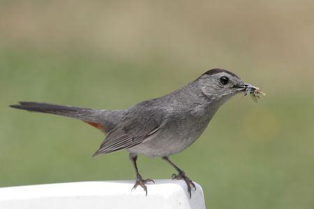 gray catbird: Gray Catbird (Dumetella carolinensis) gathering food for her hungry babies