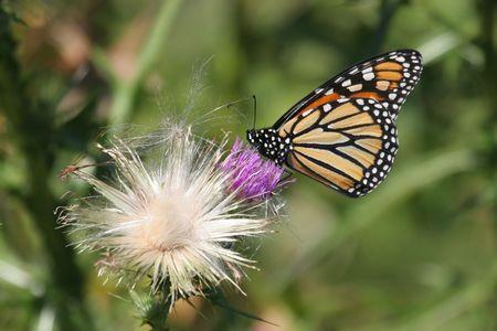 plexippus: Monarch Butterfly (danaus plexippus) on thistle flowers