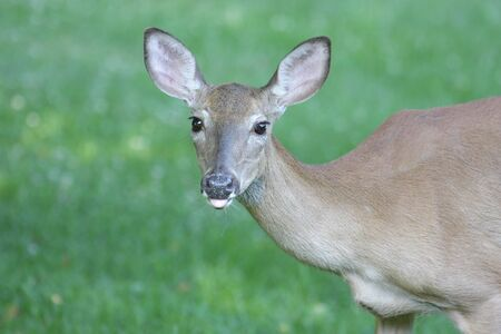 odocoileus: White-tailed Deer Doe (Odocoileus virginianus) Stock Photo