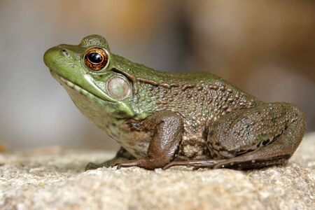 Green Frog (Ranam clamitans) on a rock in spring Stock Photo - 3275487