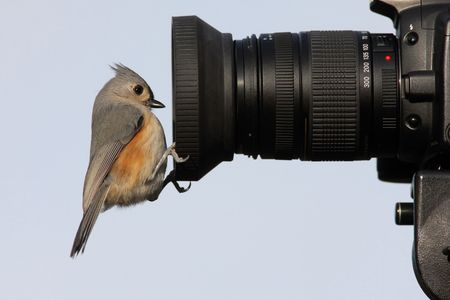 tufted: Tufted Titmouse (baeolophus bicolor) on a camera lens