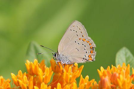 milkweed butterfly: Coral Hairstreak Butterfly (Satyrium titus) on Milkweed Flowers