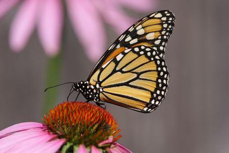 Monarch Butterfly (danaus plexippus) on Purple Cone flowers Stock Photo - 3313148