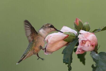colibries: Hungry Ruby-Colibrí Garganta (archilochus Colubris) a una flor de Hibiscus