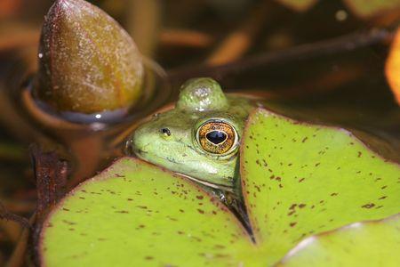Green Frog (Rana clamitans) hiding under a lily pad Stock Photo - 3362940