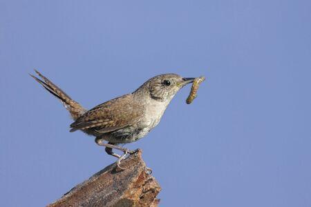 troglodytes:  Wren (troglodytes aedon) on a perch with a worm