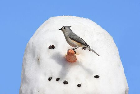 tufted: Tufted Titmouse (baeolophus bicolor) on a snowman