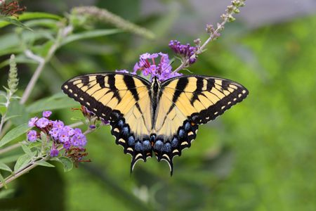 swallowtail: Tiger Swallowtail Butterfly (papilio glaucas) on a Butterfly Bush flower