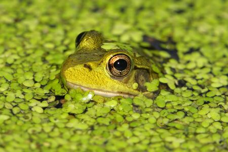 Green Frog (rana clamitans) in a pond covered with duck weed