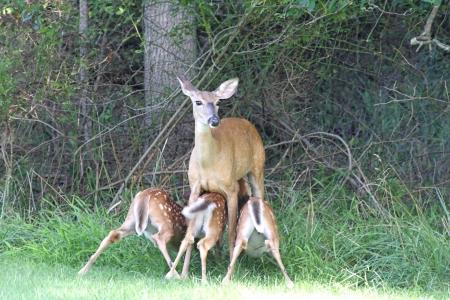 odocoileus: White-tailed Deer Doe (Odocoileus virginianus) feeding three fawns Stock Photo