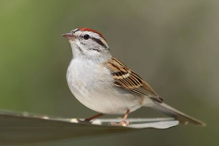 chipping: Chipping Sparrow (Spizella passerina) with a green background