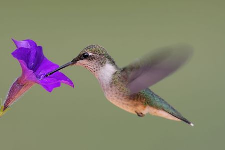 avian: Juvenile male Ruby-throated Hummingbird (archilochus colubris) in flight with a flower Stock Photo