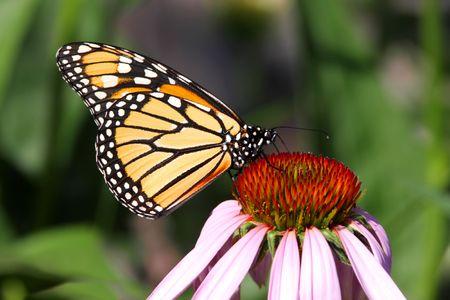 plexippus: Monarch Butterfly (danaus plexippus) on Cone flowers