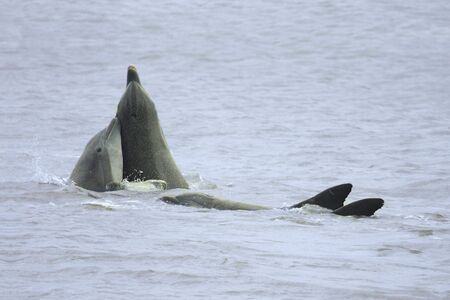 porpoise: Common Bottlenose Dolphins (Tursiops truncatus) playing in the ocean