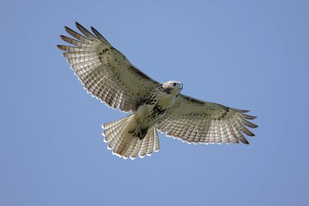 Juvenile Red-tailed Hawk (buteo jamaicensis) soaring in a blue sky