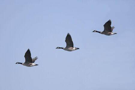 branta: Canada Geese (Branta canadensis) in flight Stock Photo